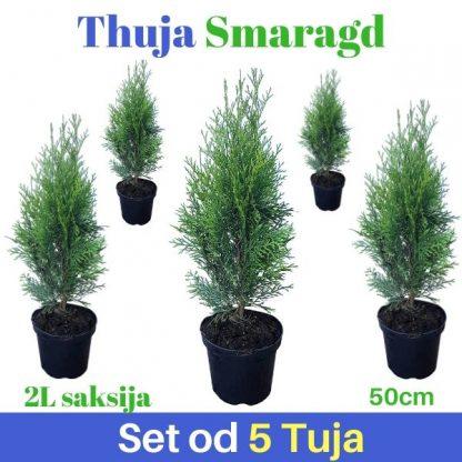 Thuja Smaragd 50cm