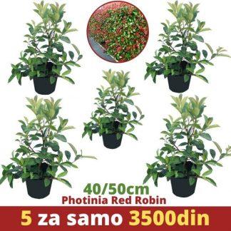 5 x Phrotinia Red Robin 40-50cm