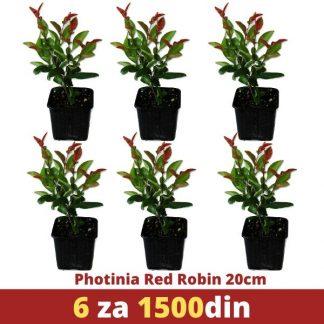 6 Photinia Red Robin 20cm