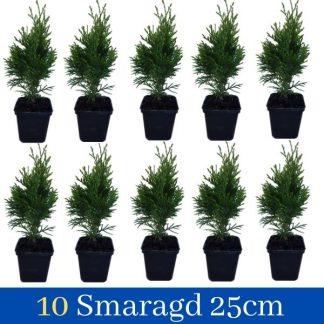 10 Thuja Smaragd 30cm