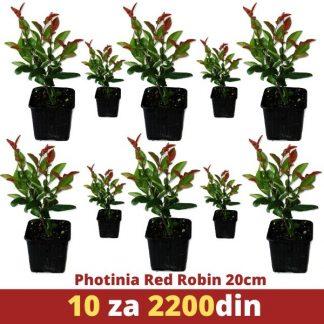 10 phrotinia red robin 20cm