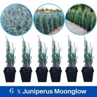 Juniperus Moonglow 6 komada