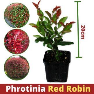 Photinia Red Robin P9 20cm