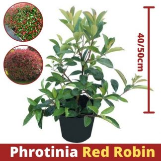 Phrotinia Red Robin 40-50cm