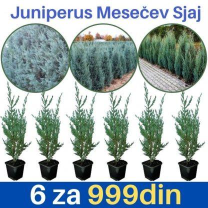 Juniperus Moonglow Mesecev sjaj