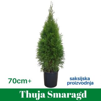 Thuja Smaragd 70+