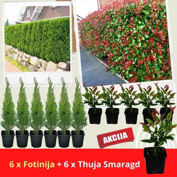 Akcija sadnice 6 smaragd + 6 Crvenih Fotinija